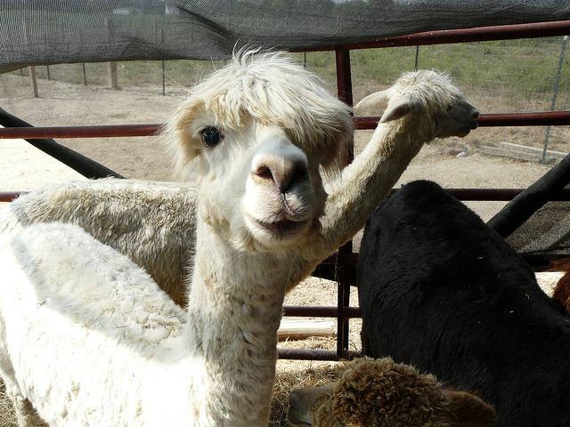 crochetbug, crochet, crocheted, crocheting, circle B, alpacas, natural fibers, madison county, illinois