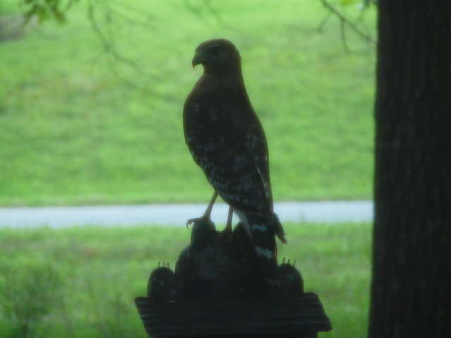 hawk on a bird feeder