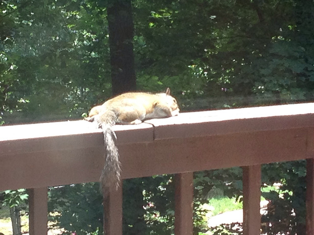 squirrel on my back deck enjoys the afternoon sun