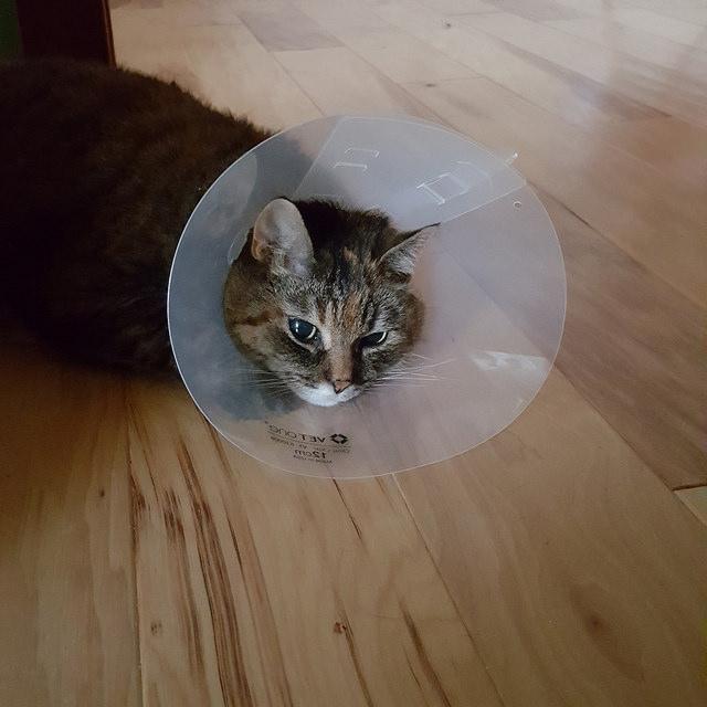 crochetbug, stripes, cat, stripes the cat, cone of shame, shame cone