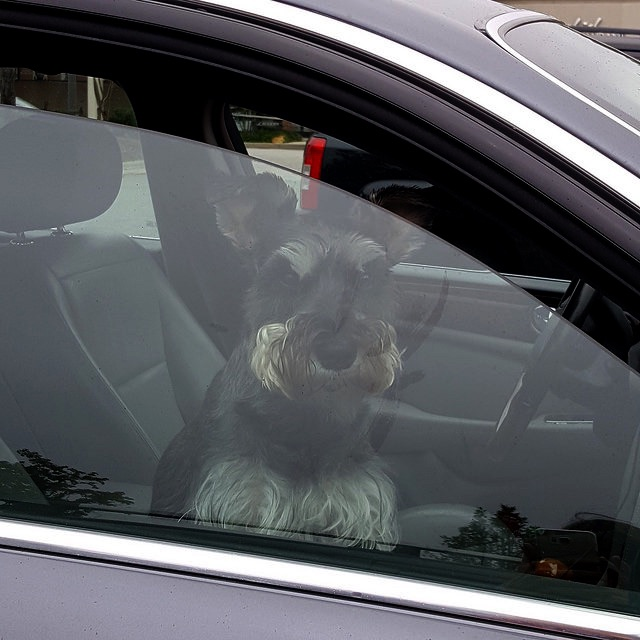 A Schnauzer in his car outside Starbucks on a dog day in August