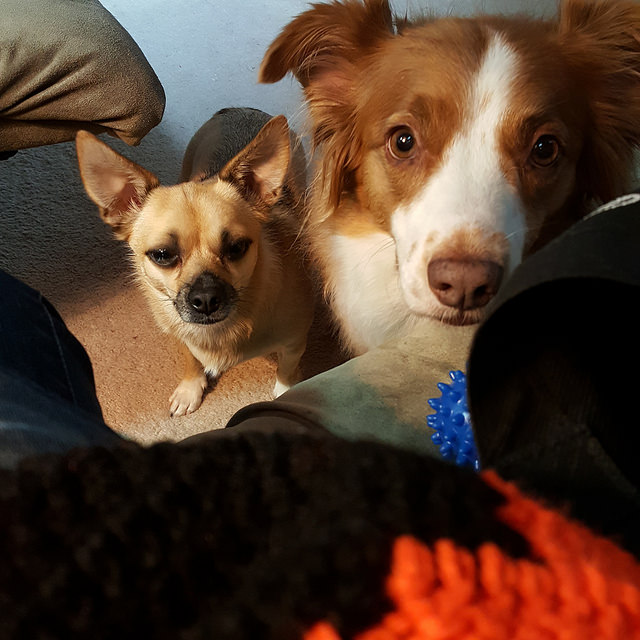 Trixie and Syd supervise my crochet on a dog day in August