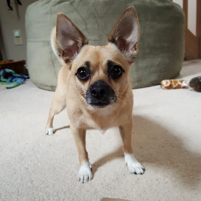 a chihuahua ready to play fetch